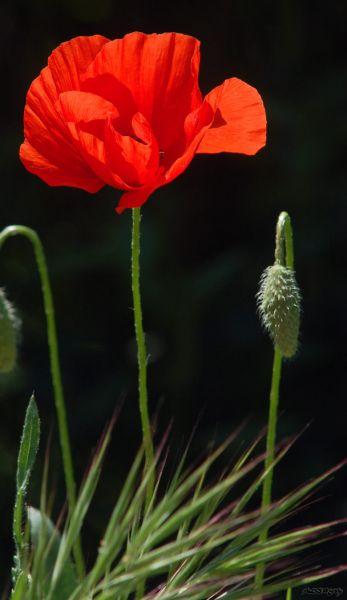 fleurcoquelicot2046.jpg